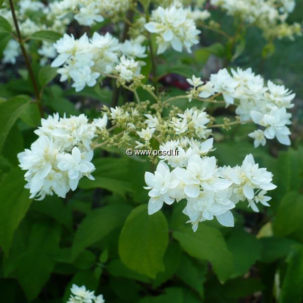 Hydrangea arborescens ssp. radiata \'Hayes Starburst\' ® C4L 40/50