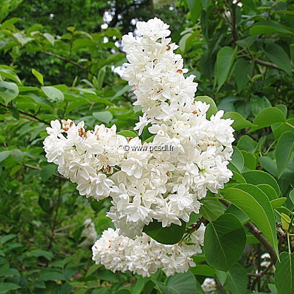 Syringa vulgaris \'Madame Lemoine\' C4L 30/40