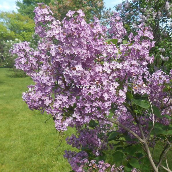Syringa x hyacinthiflora \'Pocahontas\' ® 30/40 C4L