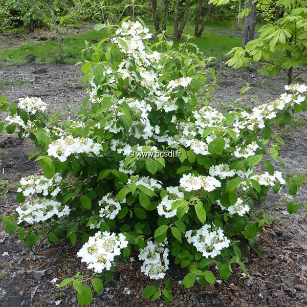 viburnum plicatum 39 shoshoni 39 80 100 c10l tous les arbustes p pini res c te sud des landes. Black Bedroom Furniture Sets. Home Design Ideas