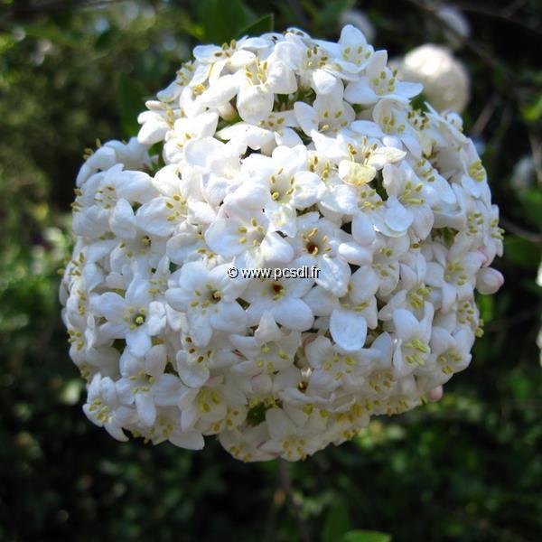Viburnum x burkwoodii C4L 40/60