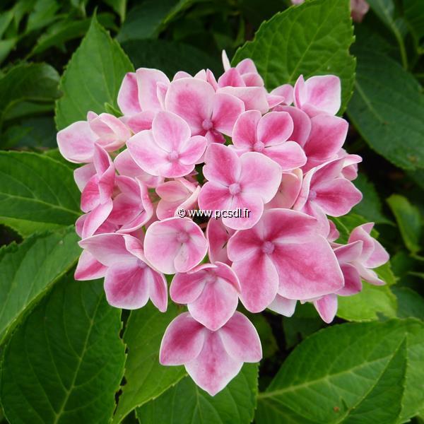 Hydrangea macrophylla \'Camilla\' ® C4L 20/40