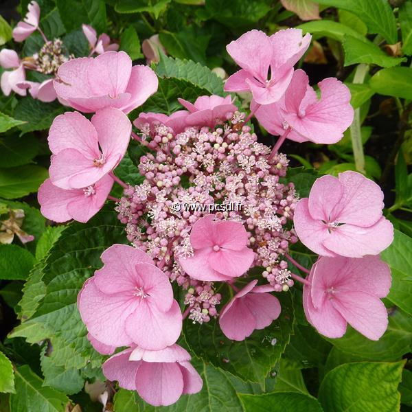 Hydrangea macrophylla \'Gimpel\' 20/40 C4L