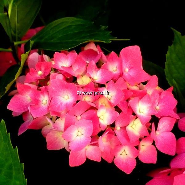 Hydrangea macrophylla \'Leuchtfeuer\' C4L 20/40