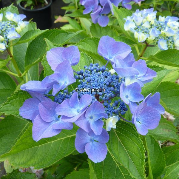 Hydrangea macrophylla \'Pfau\' 20/40 C4L