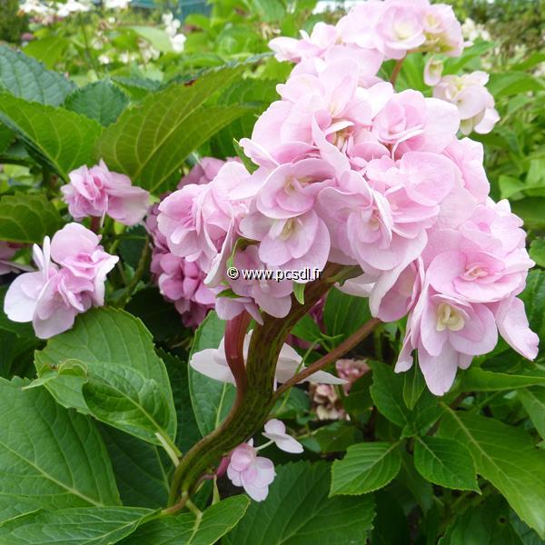 Hydrangea macrophylla \'Sekkayae\' C4L 20/40
