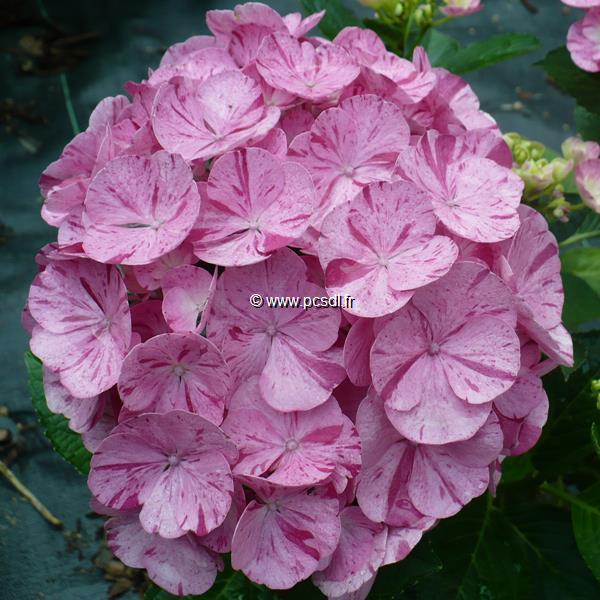 Hydrangea macrophylla (hovaria) \'Sweet Fantasy\' ® C4L 20/40