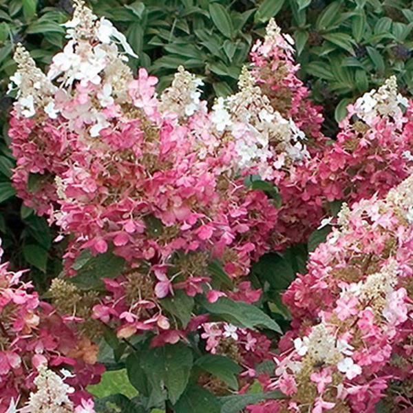 Hydrangea paniculata \'Fire\' 40/50 C4L