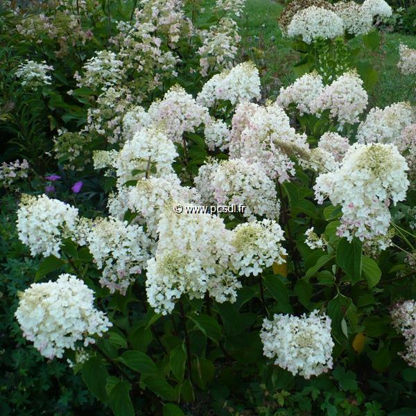 Hydrangea paniculata \'Silver Dollar\' C12L tige 90cm