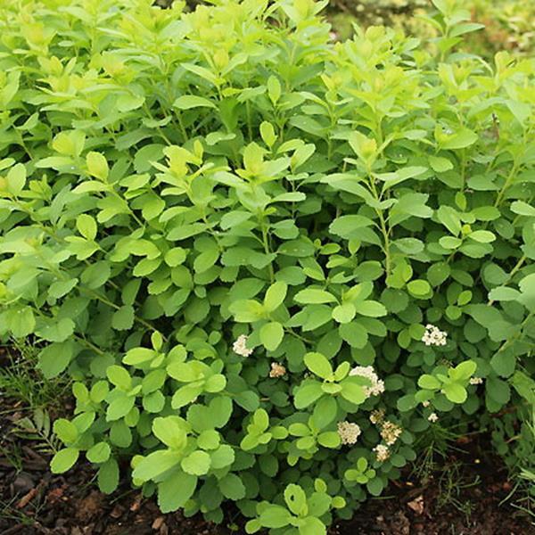Spiraea betulifolia \'Tor Gold\' ® C4L 30/40