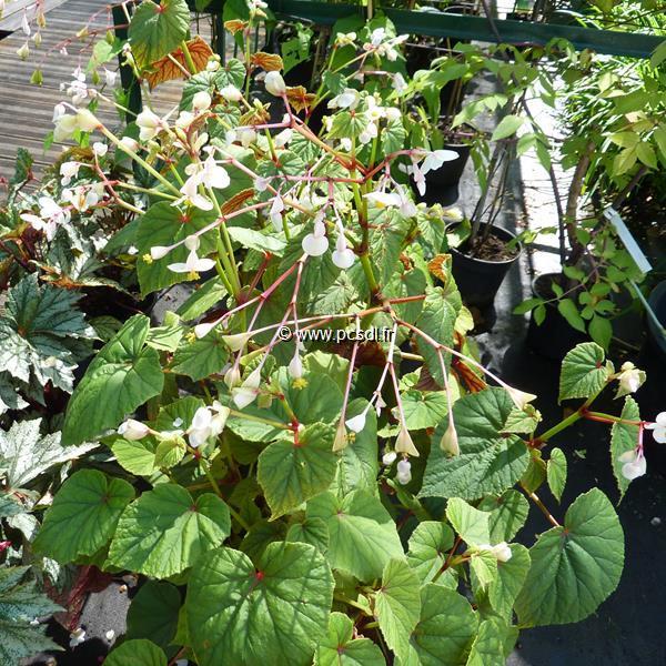 Begonia grandis ssp. evansiana var. alba C3L
