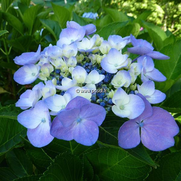 Hydrangea macrophylla \'Messaline\' 20/40 C4L