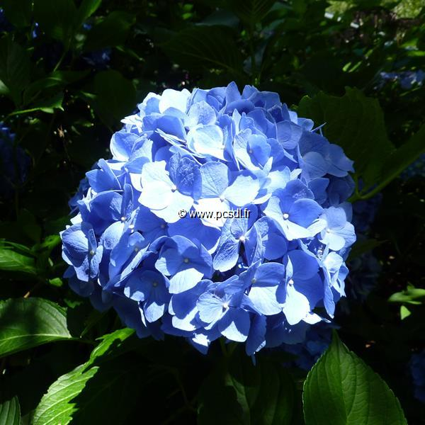 Hydrangea macrophylla \'Mathilda Gütges\' C4L 20/40