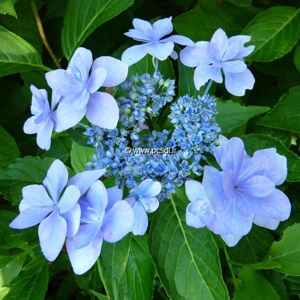 Hydrangea macrophylla \'Jogasaki\' C4L 20/40