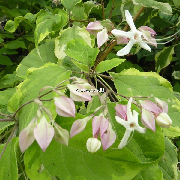 Clerodendrum trichotomum \'Carnival\' 80/100 C4L