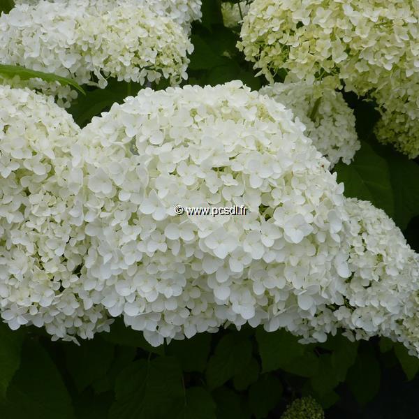 Hydrangea arborescens \'Annabelle\' C4L 40/60