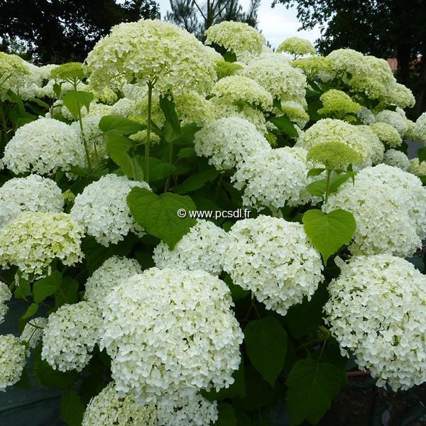 Hydrangea arborescens Annabelle (9)