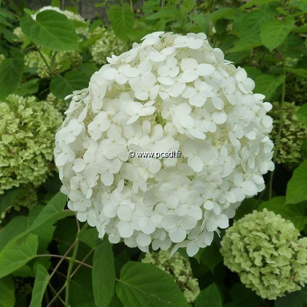 Hydrangea arborescens \'Incrediball\' ® C15L 50/80