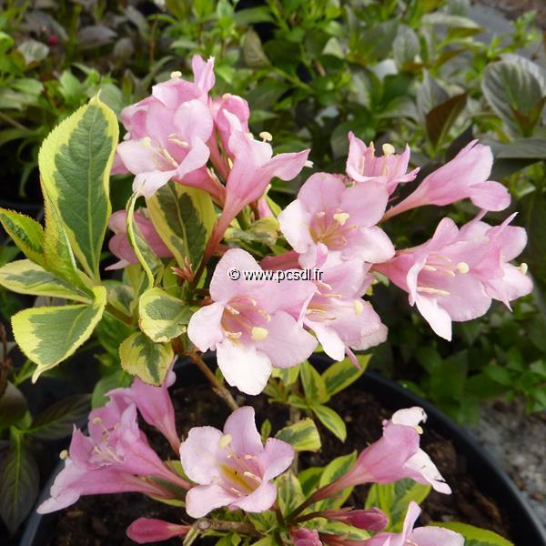 Weigela florida \'Rainbow\' C4L 20/30