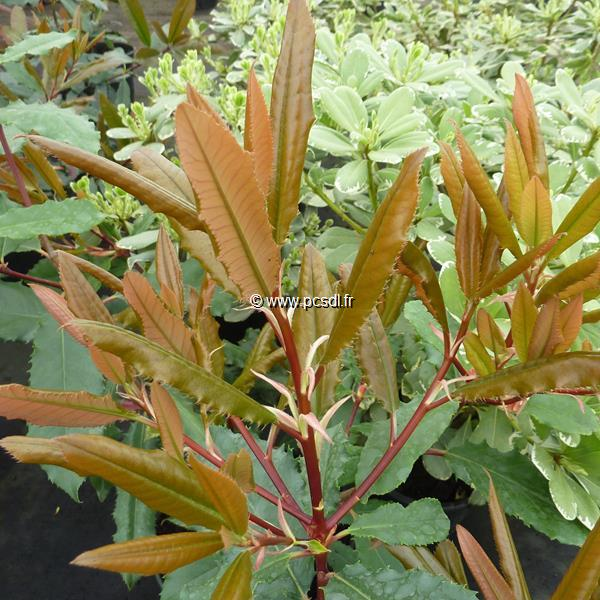 Photinia serratifolia C4L 30/40