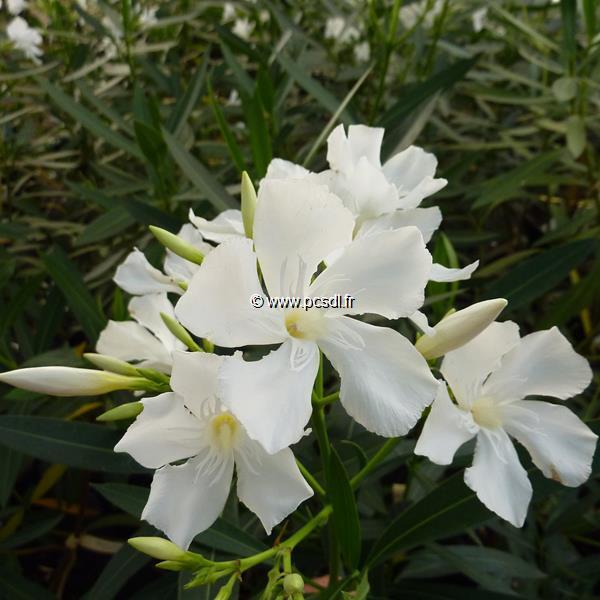 Nerium oleander \'Album\'