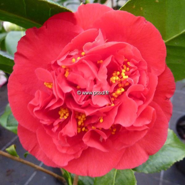 Camellia japonica \'Kramer\'s Supreme\' C25L 125/150