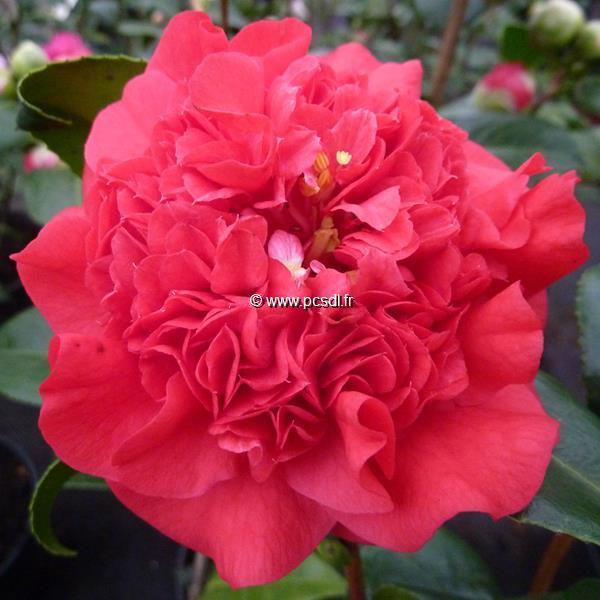 Camellia japonica \'Kramer\'s Supreme\'