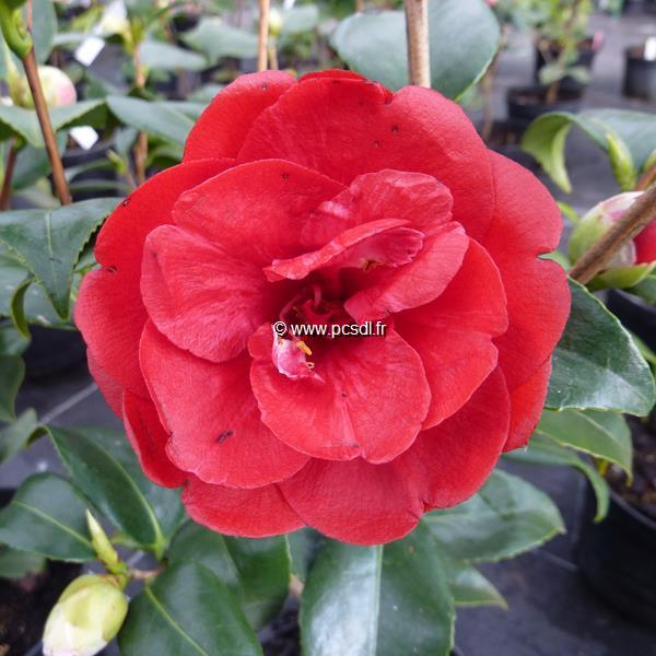 Camellia japonica \'Black Prince\' 40/50 C4L