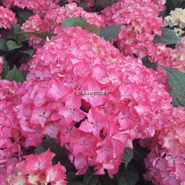 Hydrangea macrophylla \'Selma\' ® 20/40 C4L