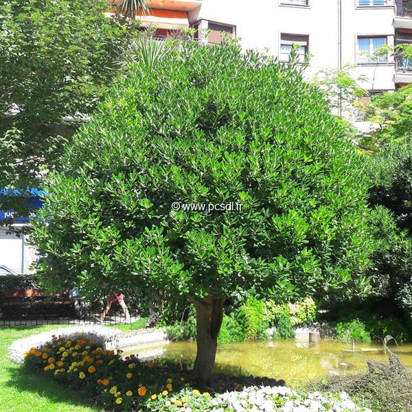 Pittosporum tobira C4L 30/40