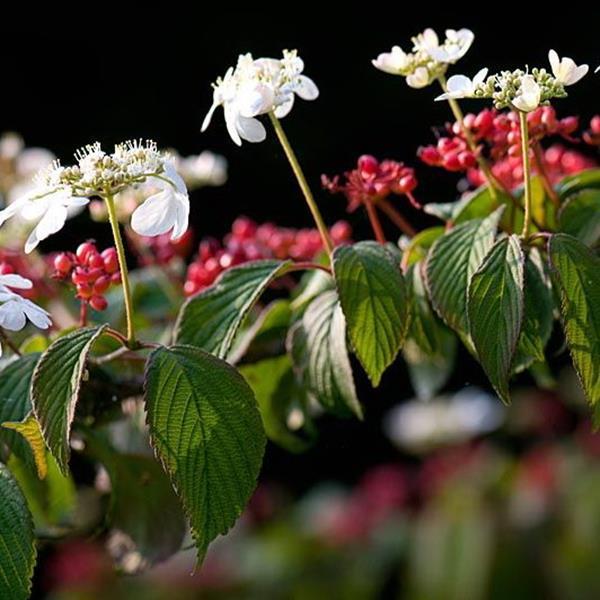 Viburnum plicatum \'Elisabeth Bullivant\' C10L 30/40