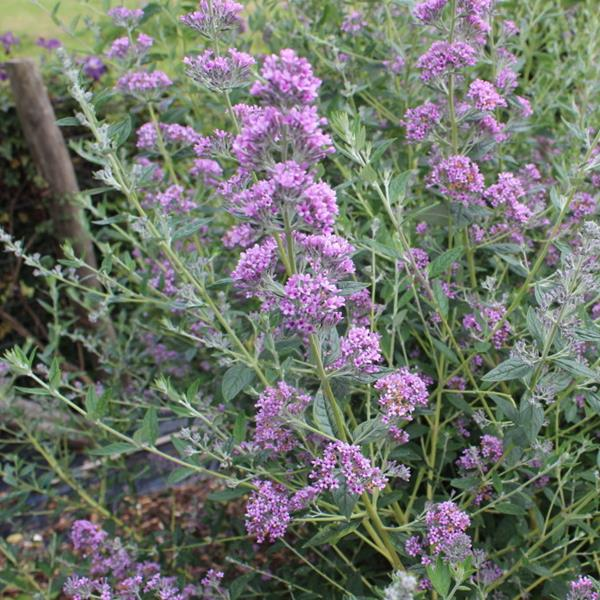 Buddleja alternifolia \'Unique\' ® C4L 30/40