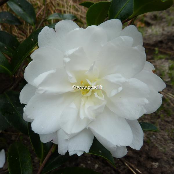 Camellia sasanqua \'Fuji no Yuki\' 10/20 C2,5L