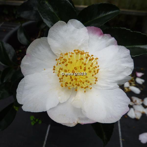 Camellia sasanqua \'Pink Snow\'