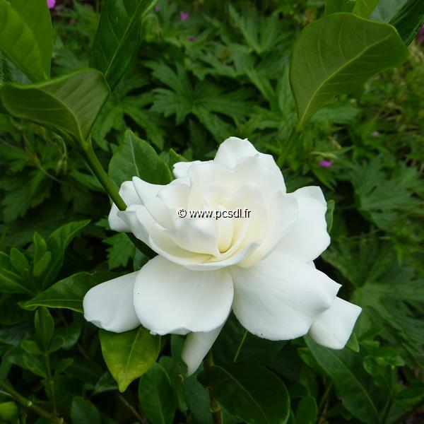 Gardenia jasminoides C3L 30/40