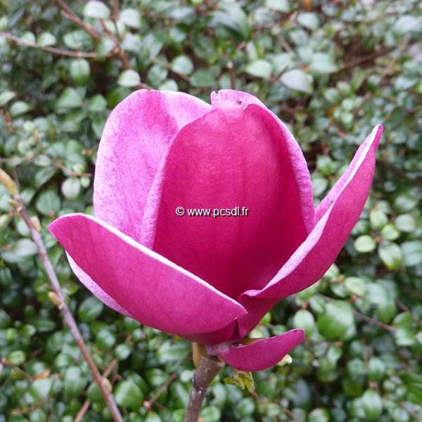 Magnolia \'Genie\' ®