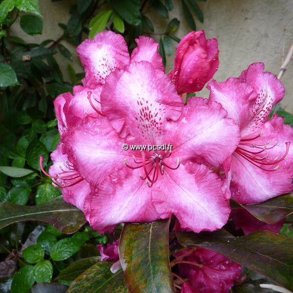 Rhododendron x \'Black Pearl\' 30/40 C5L