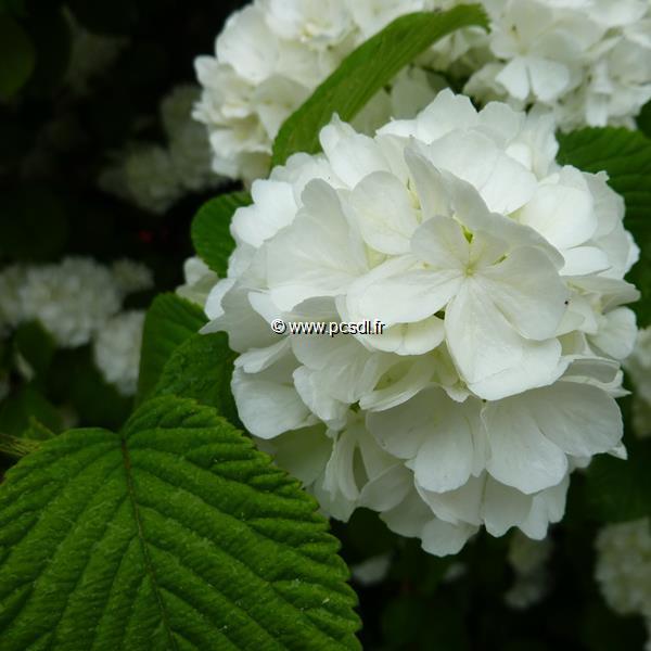 Viburnum plicatum \'Newport\' C15L 40/80