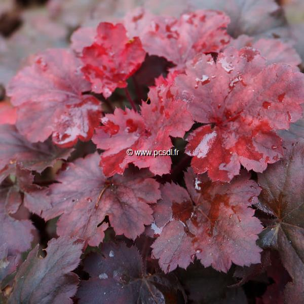 Heuchera \'Cherry Cola\' C3L