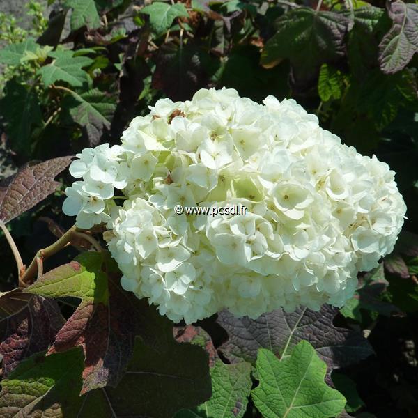 Hydrangea quercifolia \'Snowdrift\' 40/50 C4L
