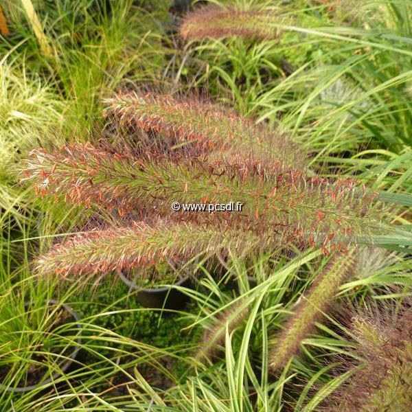 Pennisetum orientale \'Karley Rose\' ® C3L