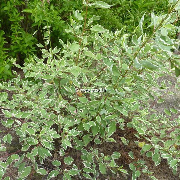 Cornus alba \'Elegantissima\' 40/60 C4L