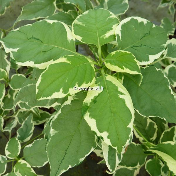 Cornus alternifolia \'Pinky Spot\' ® 40/50 C5L