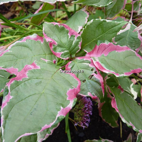 Cornus alternifolia \'Pinky Spot\' ®