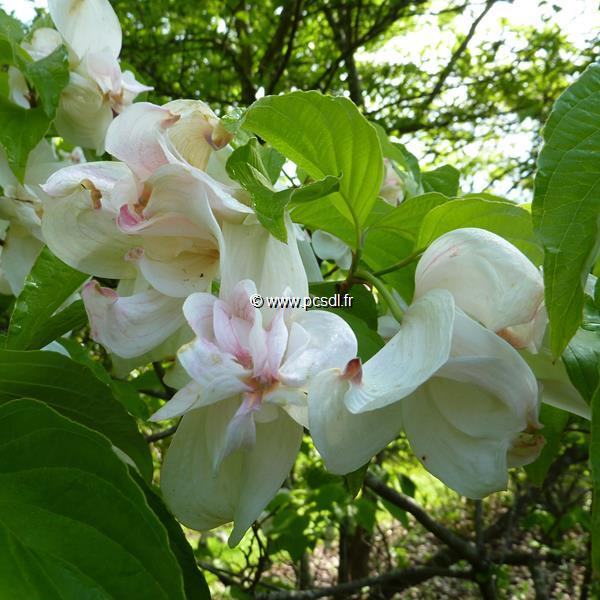 Cornus florida \'Double Beauty\' C7L 40/60