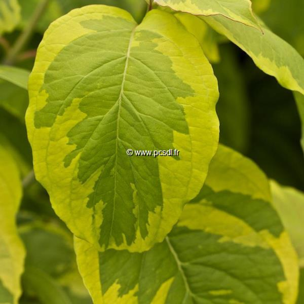 Cornus florida \'Rainbow\' 100/120 C10L