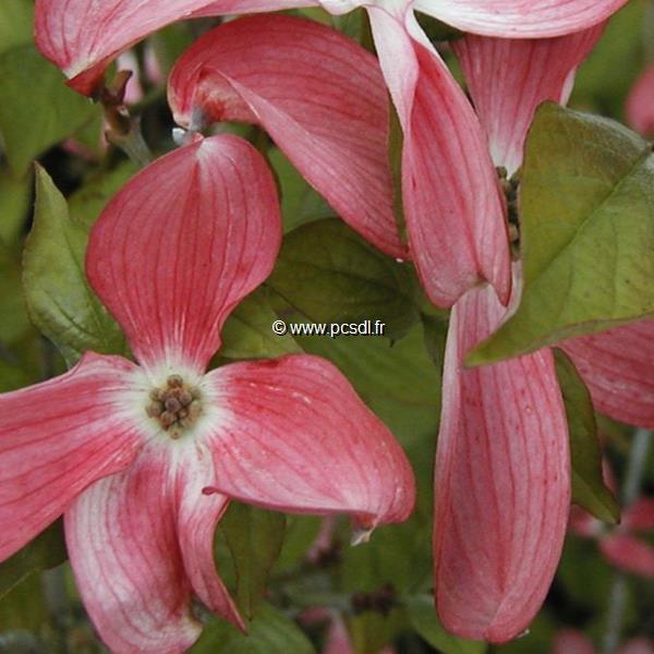 Cornus florida \'Spring Song\' C15L 150/175