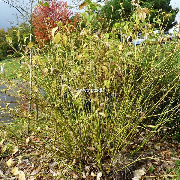 Cornus sericea \'Flaviramea\' C4L 40/60