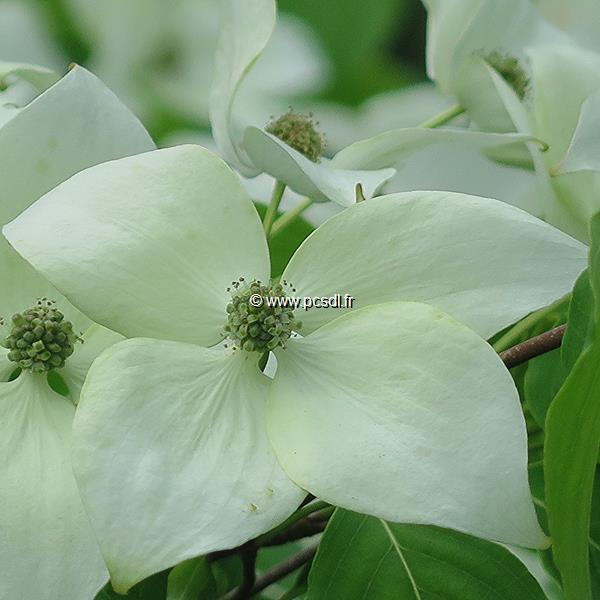 Cornus kousa \'China Girl\' C4L 60/80
