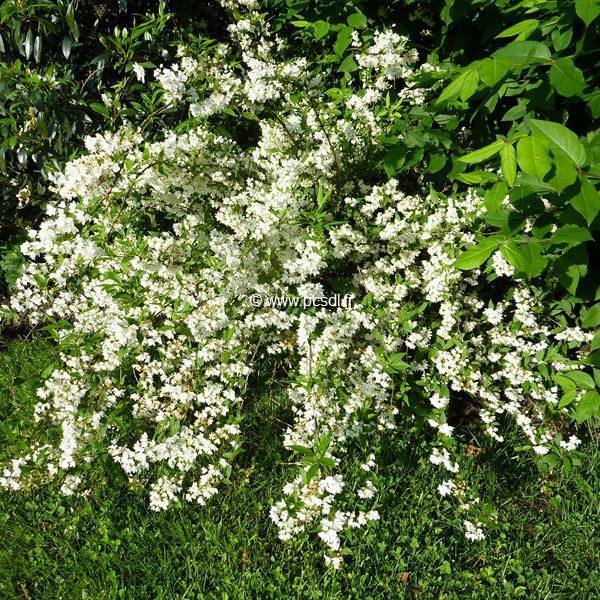 Deutzia gracilis C4L 30/40
